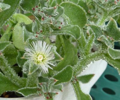 Iceplants4002