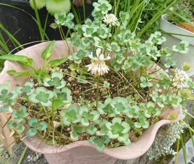 Trifolium8001