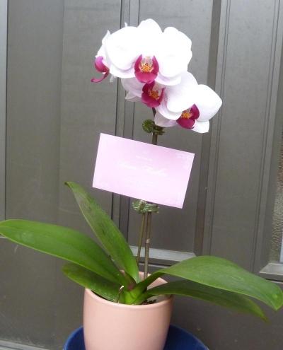 Phalaenopsis800